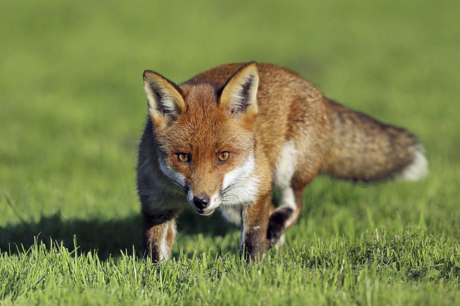 Fox by Dean Eades