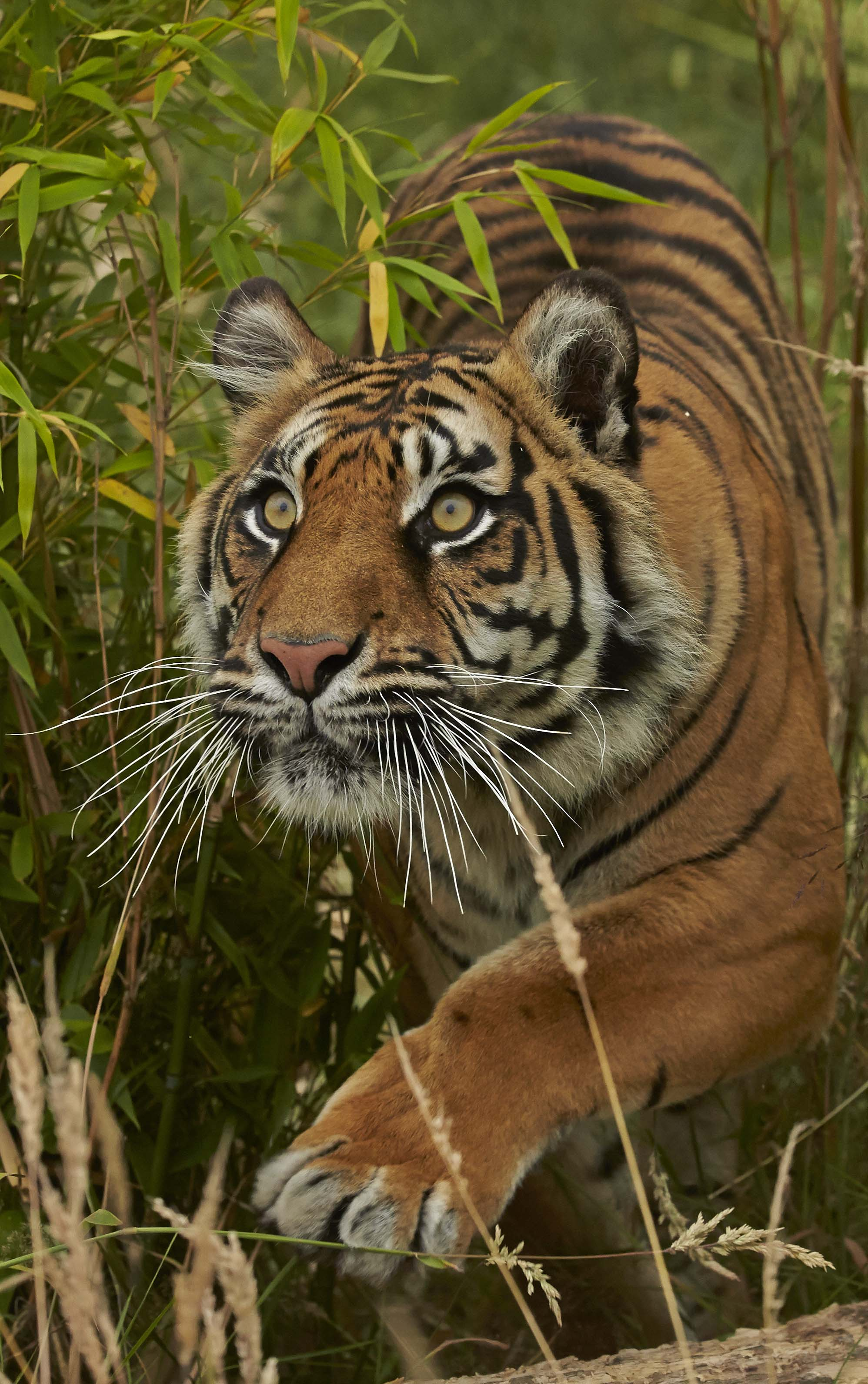 Tigers photographed at Hamerton Zoo by John Wright.