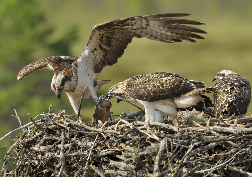 Dinner time for a hungry young osprey at Rutland Water.